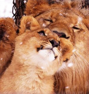 Lion Stock 37: Cub and Older Brother by HOTNStock