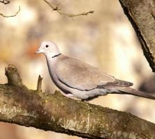 Red eyed dove by pqphotography