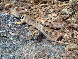 Collared Lizard in White Hills by ClymberPaddler