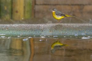 I am not a yellow wagtail I Am A Grey Wagtail by Daxserv