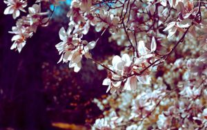 UnderTheMagnoliaTree by StarwaltDesign