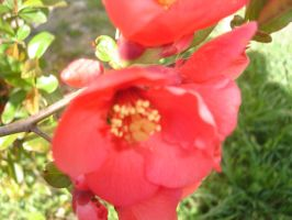 Japanese quince 2 by WolfDemonG