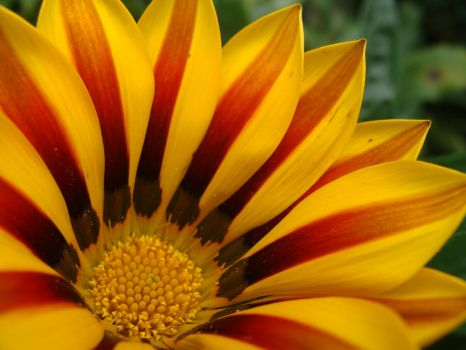 Gazania Kiss Yellow Flame by Cartedumonde