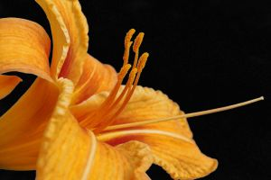 Orange lilly by lakeglenmiss