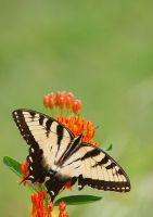 Swallowtail on Butterfly Weed by Karl-B