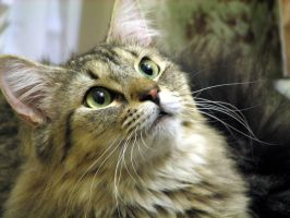 Maine Coon by Offended-By-Light