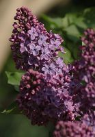 purple lilac by marob0501