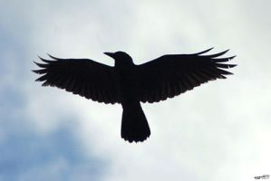 Crow in Sky by Creative-Addict