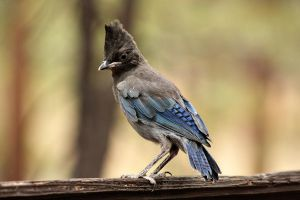 Baby Blue Jay by pinknfuzzy4711