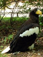 Steller's Sea Eagle by arkytaka