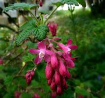 Red-flowering Currant by Lupsiberg