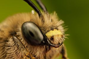 Solitary Bee Portrait at 5x by dalantech