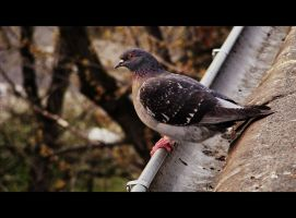Pigeon on the Roof. by itsjustlikemagic