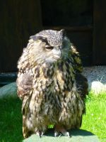 Eagle Owl 6 by DuskDreamscapes