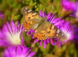 Painted Lady by SweeneyTed