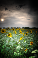 Sunsets Sunflowers by FilipR8