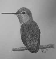 Anna's Hummingbird by Kyle197