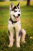 Husky Puppy by JonneCat