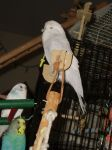 Three Parakeets by Windthin