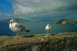 Slea Head Seaguls by blessedchild