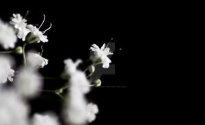 white baby's breath by cw-art-photography