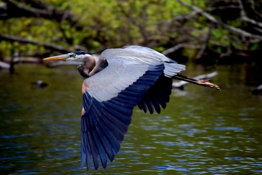 Blue Heron - 2 by JAMills