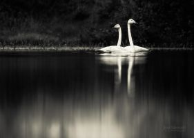 Two Swans by JoniNiemela
