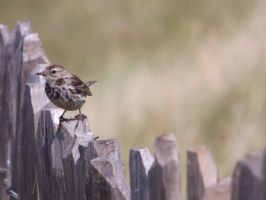 Meadow Pipit by foxyfellowuk