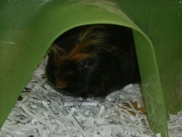Guinea Pig Fort by MadForHatters
