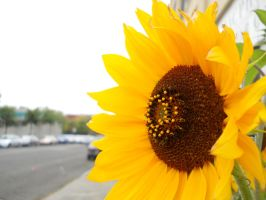 Sunflower by cmickle