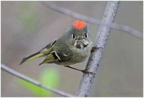 Ruby-crowned Kinglet (male) by Ryser915