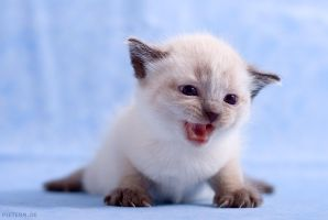 little kitten by hoschie