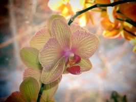 Sunkissed Orchid Flowers by Kitteh-Pawz