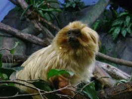 Golden Lion Tamarin by laura-worldwide