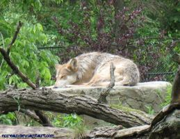 Wolf - Brookfield Zoo by sorean