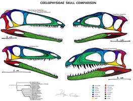 Coelophysidae Skull Comparison by Dennonyx