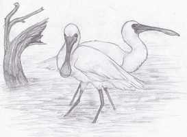 Black-faced Spoonbill sketch by Forbidding