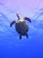 Sea Turtle- Palancar Caves, Cozumel by NaiveLibrarian