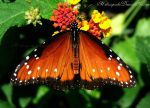 ..Butterfly.. by h3llzcupcake
