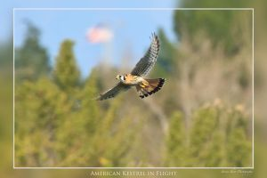 American Kestrel In Flight by Mac-Wiz