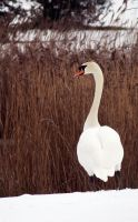 Winter Swan by thesolitary