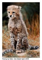 Young Cheetahs 4 by Reto