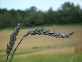 Wheat 2 by cooler81