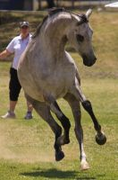 STOCK - TotR Arabians 2013-400 by fillyrox