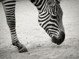 Zebra 1 by SnappingSausage