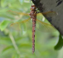 Shropshire damsels and dragons 2 4 by melrissbrook