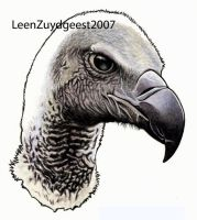 White-backed vulture 02 by LeenZuydgeest