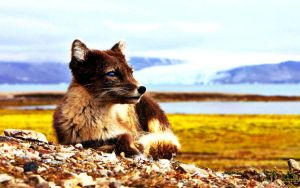 Female Arctic Fox (Photoshopped) by KimmiPandaa