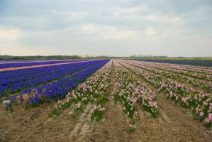 Flowering hyacinth fields 3 by steppelandstock