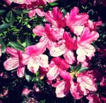 Pink Azaleas by MegtheMagnificent